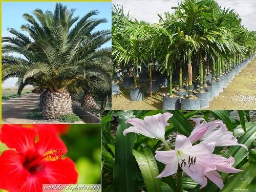 Mil Plantas Ornamentales Plantar El Domingo De Ramos La